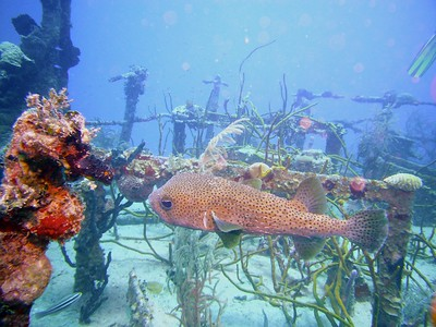 Spotted Burrfish swimming among the shipwreck