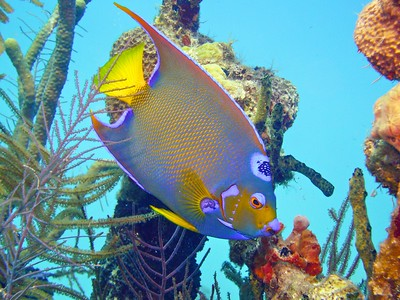 Queen Angelfish swims among a shipwreck