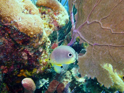 Pair of Foureye Butterflyfish among seafan