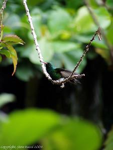 Hummingbird - Roatan, Honduras