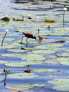 A wading bird in Belize.