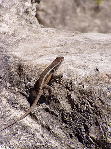 A lizard at the top of the temple - Lamanai, Belize