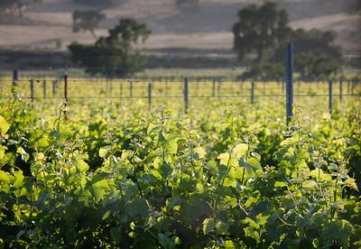 Vineyard, Central Coast CA