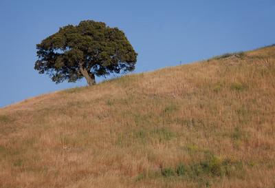 Lone oak, Central Coast CA