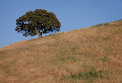 Lone oak, Central Coast CA