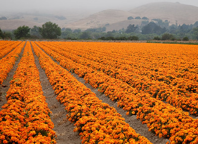 "Flower field near Buellton, CA. Canvas print available, with gallery wrap mounting, 18""x24"""