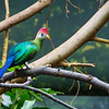 Red-crested Turaco