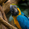 Blue-and-yellow Macaw