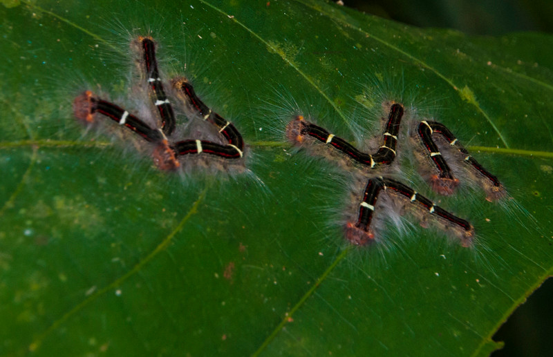 Amazon_Insects 28