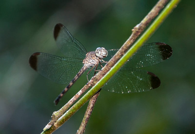 Amazon_Dragonfly-2