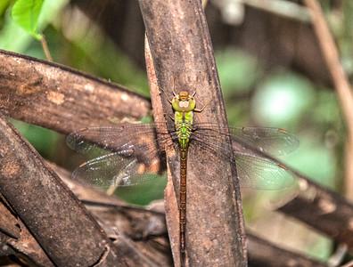 Amazon_Dragonfly-1