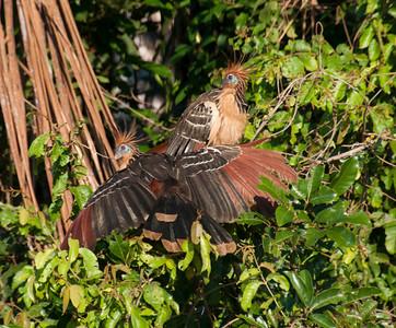 Amazon_Birds51