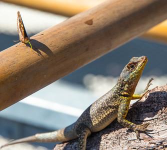 Iguazu_Lizard-1