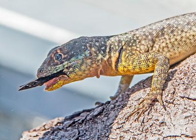 Iguazu_Lizard-2
