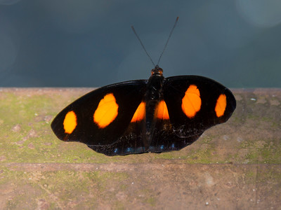 Iguazu_Butterflies-3
