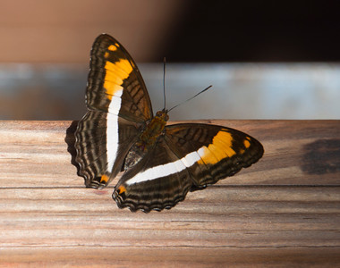 Iguazu_Butterflies-1