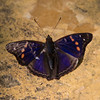 Iguazu_Butterflies-4