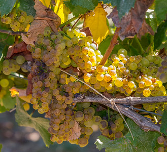Chardonnay Grapes - Emiliana Vinyards