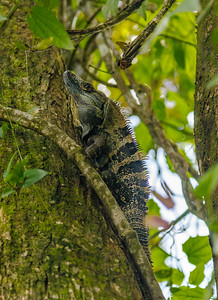 Tree Lizard Hunting