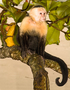 Costa Rica_Monkey-2