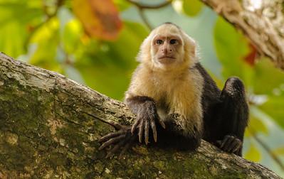Contemplative Capuchin