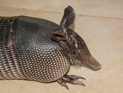 Costa Rica_Animals_Armadillo-1