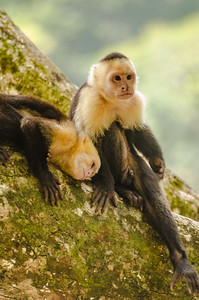 Capuchin Couple
