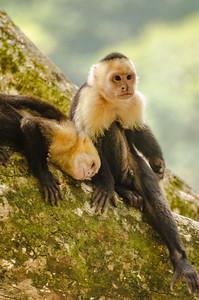 Capuchin Couple