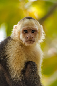 Capuchin Portrait