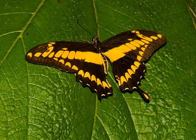 Costa Rica_Butterflies-5