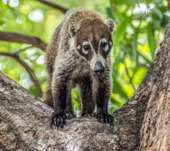 Costa Rica_Animals_Coati-5