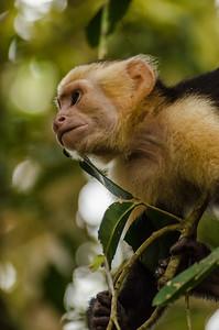 Capuchin Sentinel