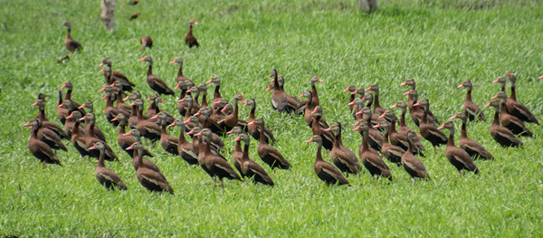 Costa Rica_Birds_Whistling Ducks-7