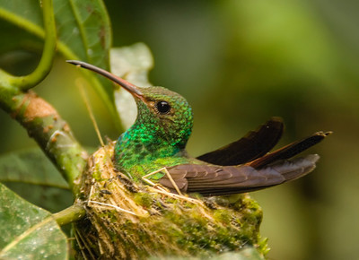 Costa Rica_Humming Birds-1