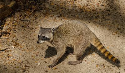 Central American Raccoon