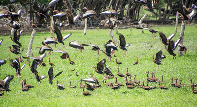 Costa Rica_Birds_Whistling Ducks-9
