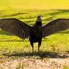 Costa Rica_Vultures-2