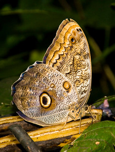 Costa Rica_Butterflies-3