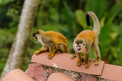Squirrel Monkeys on Inn Rooftop
