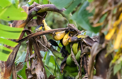 Bananaquits feasting on overripe fruit