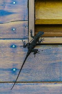 Climbing gecko