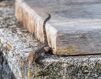 Anole Lizard - Cabrits National Park