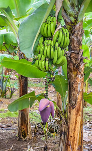 Every farmer has a section of banana trees