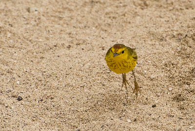 Yellow Warbler Hops the Sand