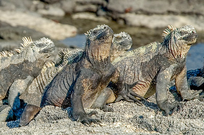 Galapagos_Lizards-2