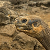 Galapagos_Tortoise-4