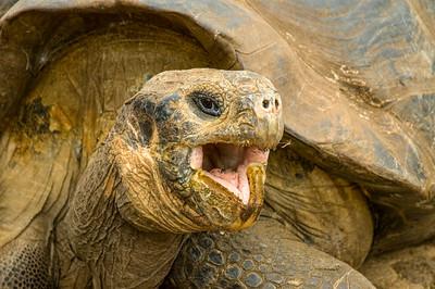 Galapagos_Tortoise-3