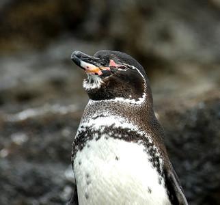 Galapagos_Penguins-2