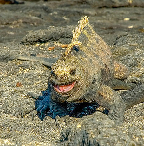 Galapagos_Lizards-1