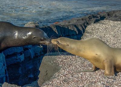 Galapagos_Sea Lions-6